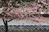 大寒桜と白壁