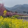オカメ桜と菜の花