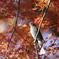 161211-20紅葉の中のヒヨドリ