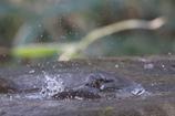 170304-3ヒヨドリの水浴び