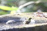 161218-16メジロの水浴び