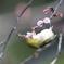 170222-8オオカンザクラの蜜を吸うメジロ