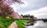 今年も有難う桜さん