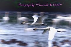 最上川スワンパークの白鳥さん 2
