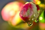 春の涙<ボケ>
