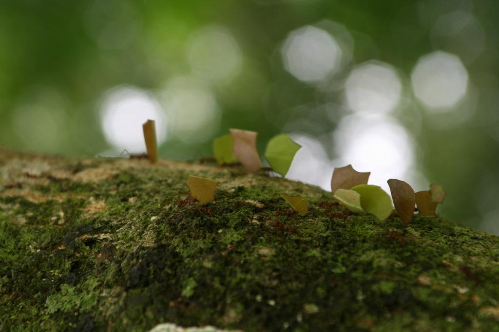 Leaf-cutter ant, Guatemara