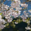 太宰府の桜