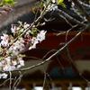 太宰府天満宮の桜