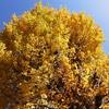 鹿児島の銀杏