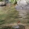 清流と川トンボ