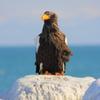 オホーツクの大鷲 IMG_4110