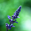 -Salvia farinacea-
