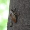 蝉 幼虫 -1-