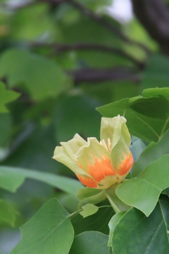 チューリップツリー(ユリノキ)