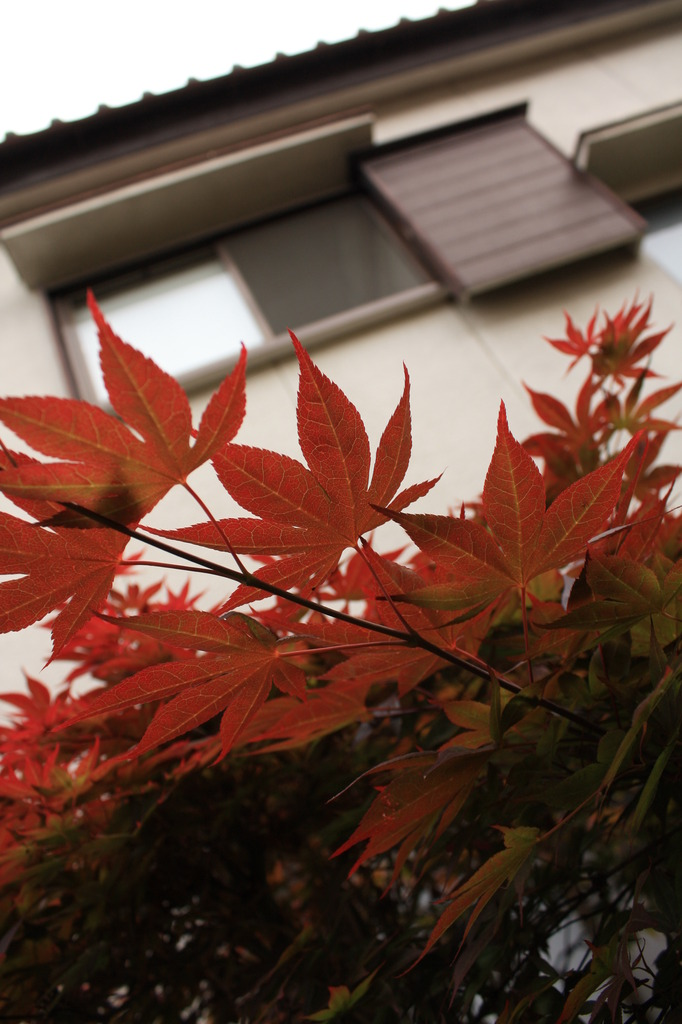 5月紅葉。