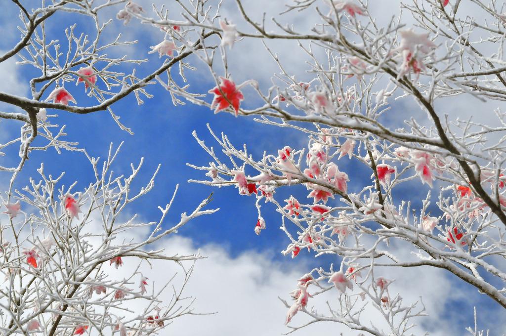 紅葉と樹氷のコラボ