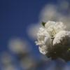 空に咲くサクラ