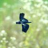 チョウトンボの飛び姿