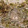 ヒバリの巣