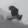 雪を飛ぶ鳶