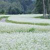 そばの花と白樺