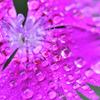 梅雨のナデシコ