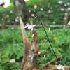 枯れ木とレンゲショウマ