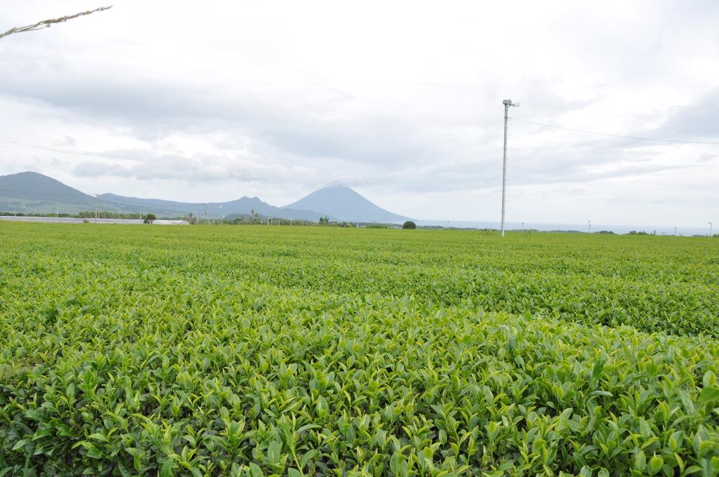 開聞岳と茶畑