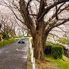 尾根緑道の桜