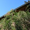 萩の花とお寺