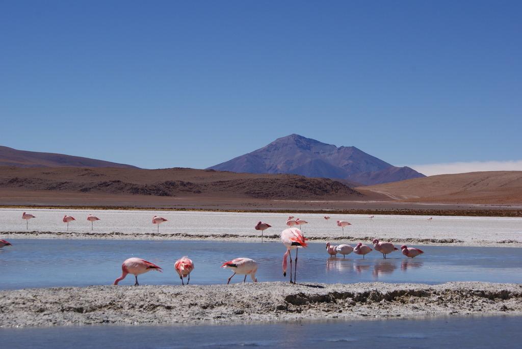 野良・フラミンゴ (ボリビア)