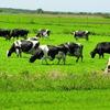 牧草を食べる牛