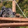 双子のチンパンジー