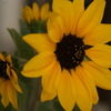 日陰の向日葵