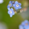 野に咲く青