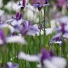 咲き競う菖蒲