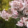 寒桜に遊ぶ?