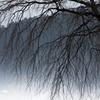雪どけと桜木