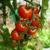 色付く秋トマト♪