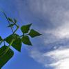 豆の木雲を掴む