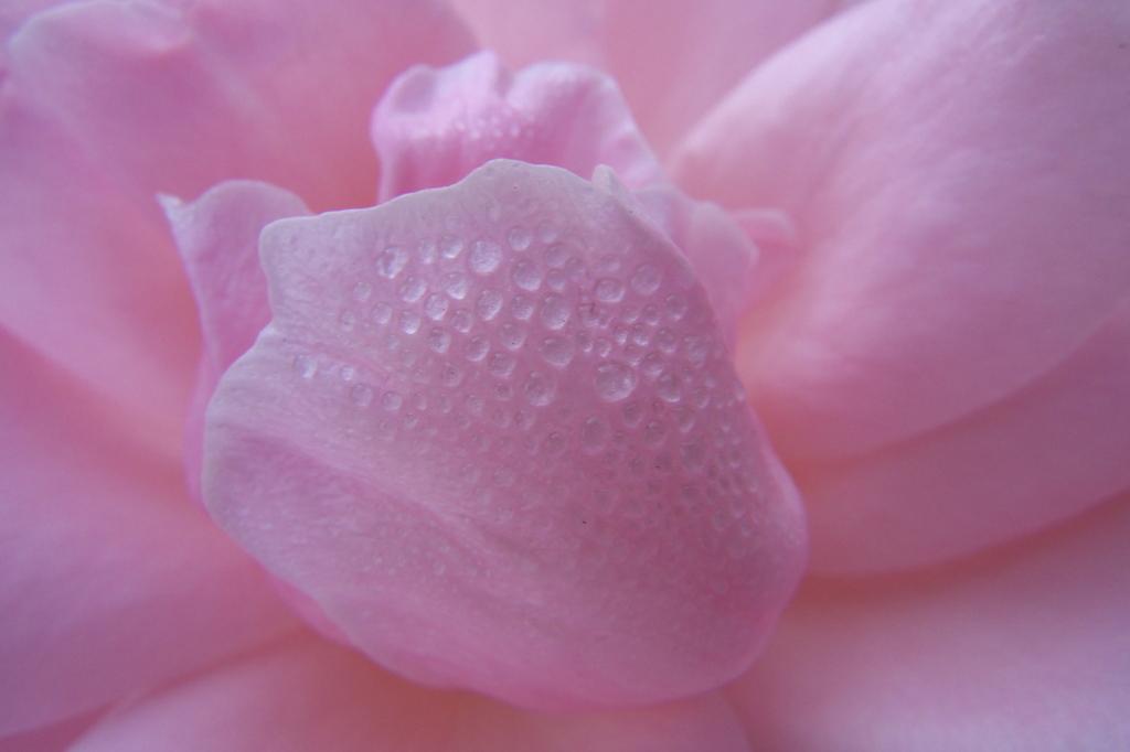 バラと朝露