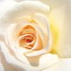 薔薇の中に光