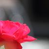 赤いバラに降り注ぐ光