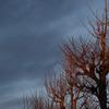 朝陽と冬枯れの街路樹