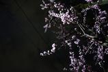 杏並木の夜