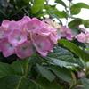 フレッシュ紫陽花に雨