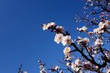 青天の下桜色の梅