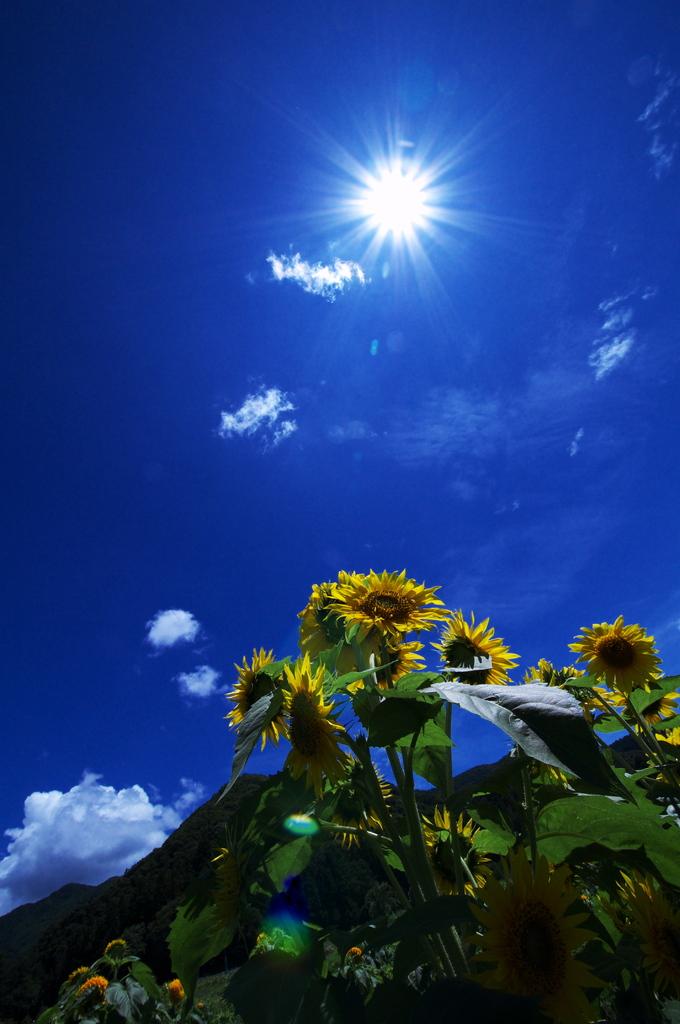 向日葵と太陽
