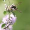 ペニーロイヤルミントにとまるハチ
