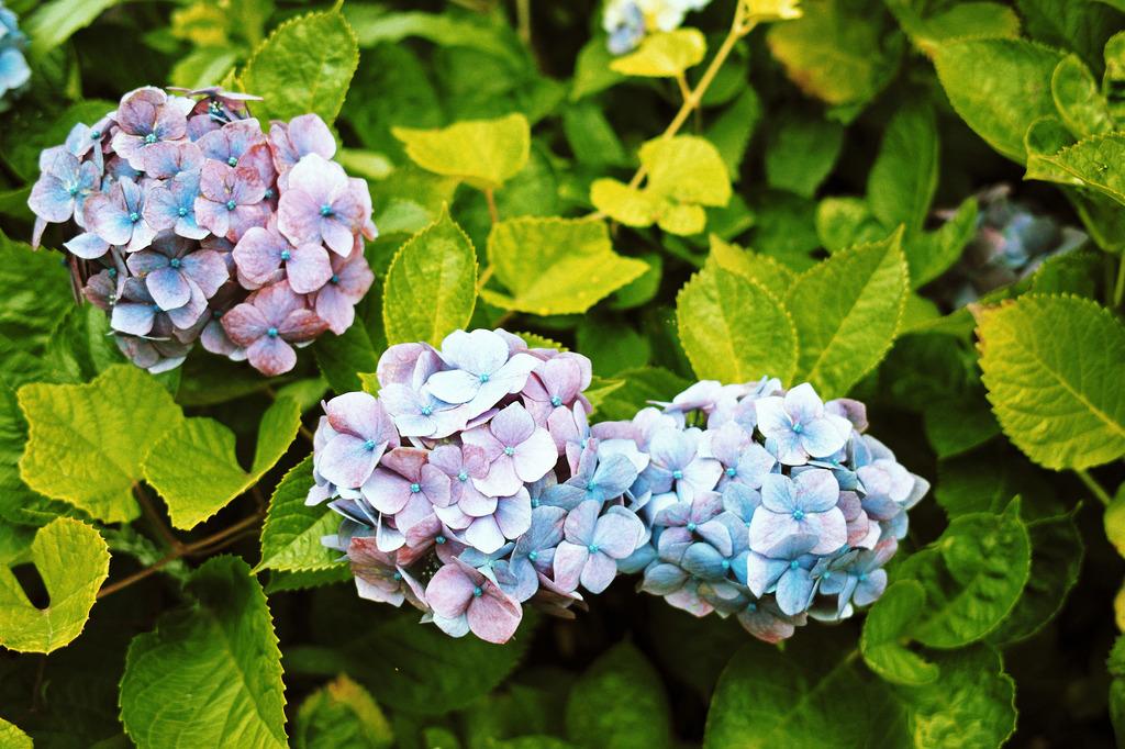 アジサイとノブドウ